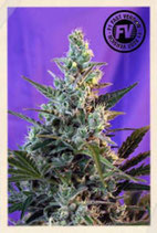 SWEET SEEDS FAST VERSION - SWEET SKUNK F1