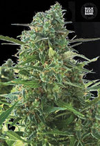 BULK SEED BANK Auto - AUTO NEW YORK CITY DIESEL