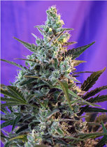 SWEET SEEDS AUTO - SWEET SKUNK AUTO