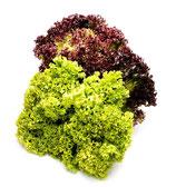 Mixsalat (Lollo Rosso & Eichblattsalat)
