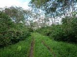 パプアニューギニア ハイランドスウィート