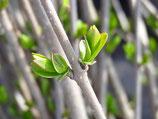 Schnitthecke Liguster (Ligustrum vulgare)