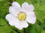 Weichblättrige Rose