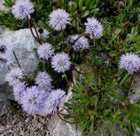 Kugelblume (Globularia cordifolia)