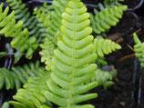 Rippen-Farn (Blechnum spicant)