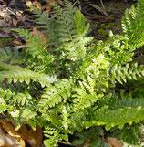 Tüpfel-Farn (Polypodium vulgare)