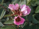 Apfelrose