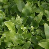 Hirschzungen-Farn (Phyllitis scolopendrium)
