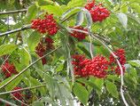 Roter Traubenholunder