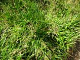 Wald-Marbel (Luzula sylvatica)