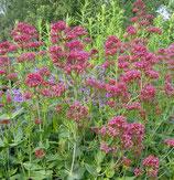 Spornblume, rote (Centranthus ruber)