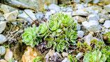 Trauben Steinbrech (Saxifraga paniculata)