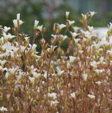 Steinbrech (Saxifraga granulata)