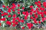 Tulipa Ingens – BIO (A1106)