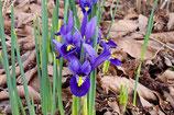 Netzblatt Iris, Iris Reticulata –BIO (A9054)