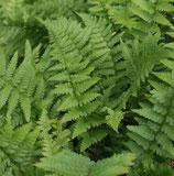 Wurm-Farn (Dryopteris filix-mas)