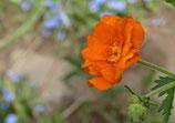 Garten Nelkenwurz (Geum coccineum Borisii)