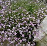 Schleierkraut (Gypsophila repens Rosea)