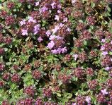 Feld-Thymian (Thymus serpyllum)