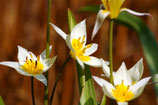 Tulipa Turkestanica – BIO (A1027)