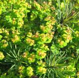 Zypressen-Woflsmilch (Euphorbia cyparissias)