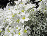 Hornkraut( Cerastium tomentosum Silberteppich)
