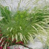 Perlgras (Melica ciliata)