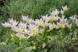 Tulipa saxatilis – BIO (A1091)