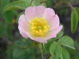 Stumpfblättrige Rose, Flaumrose