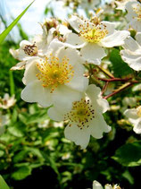 Ackerrose