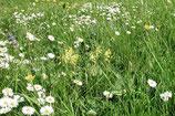 Blumenrasen, Kräuterrasen (100g)