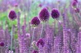 Kugellauch (Allium sphaerocephalon) – BIO (A9037)