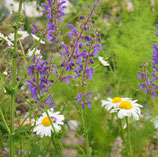 Salbei (Salvia pratensis)