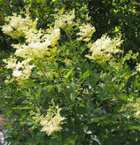 Echtes Mädesüß (Filipendula ulmaria)