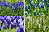 Trauben-Hyatinthen MIX, Muscari Mix blue-white - BIO