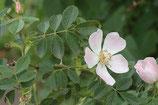 Kleinblättrige Rose