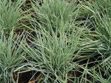 Schillergras (Koeleria glauca)