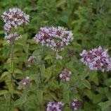 Majoran, Gewöhnlicher Dost (Origanum vulgare)