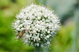 Allium Mount Everest –BIO (9 Stück - A9046)