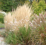 Reitgras Calamagrostis x acutiflora)