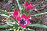 Tulipa Little Beauty – BIO (A1026)