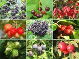 Wildfruchthecke – 10er Set