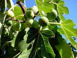 Olivenöl - extra vergine