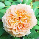 Rose Bathsheba