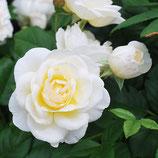 Rose Uetersener Klosterrose