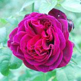 Rose Gräfin Astrid von Hardenberg
