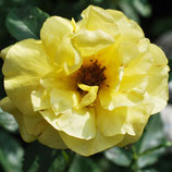 Rose Friesia