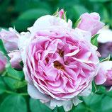 Rose Nautica