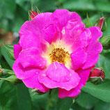 Rose Weg der Sinne