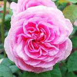 Rose Gertrude Jakyll